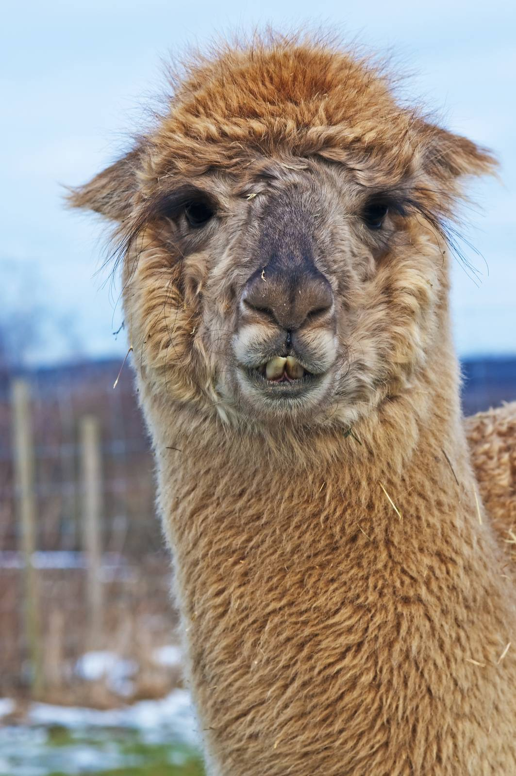 AAT, assisted animal therapy, adorable, alpaca, animal, brown - D34219768