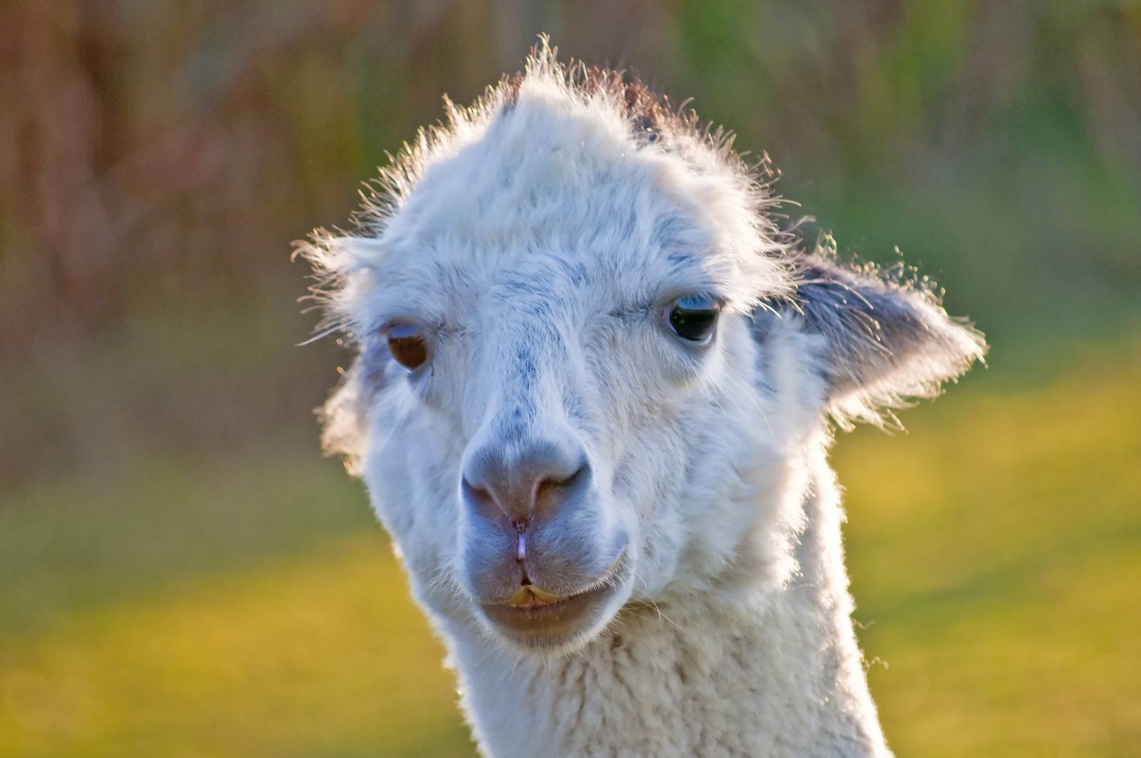 AAT, assisted animal therapy, adorable, alpaca, America, Andes - D34298240