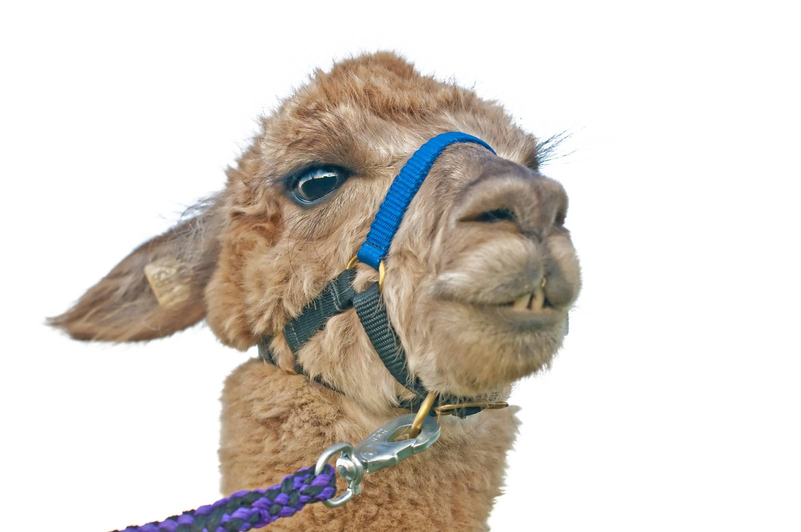 AAT, assisted animal therapy, adorable, alpaca, America, Andes - D34298254