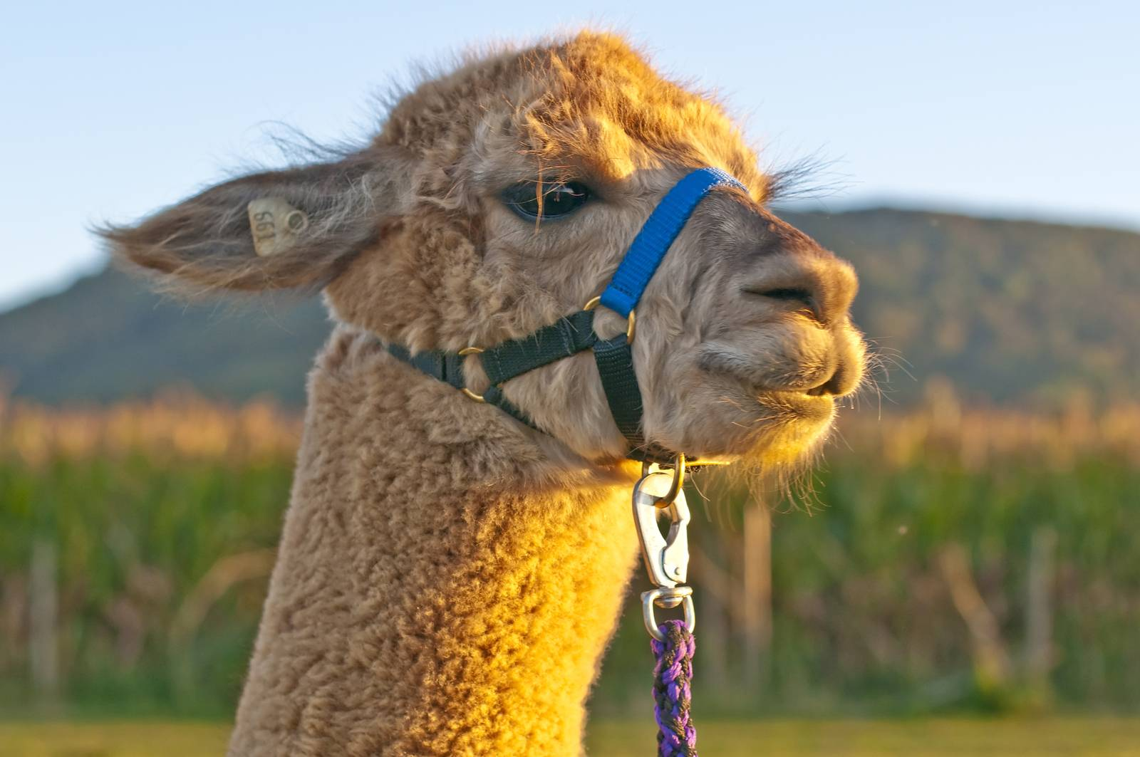 AAT, assisted animal therapy, adorable, alpaca, America, Andes - D34298246