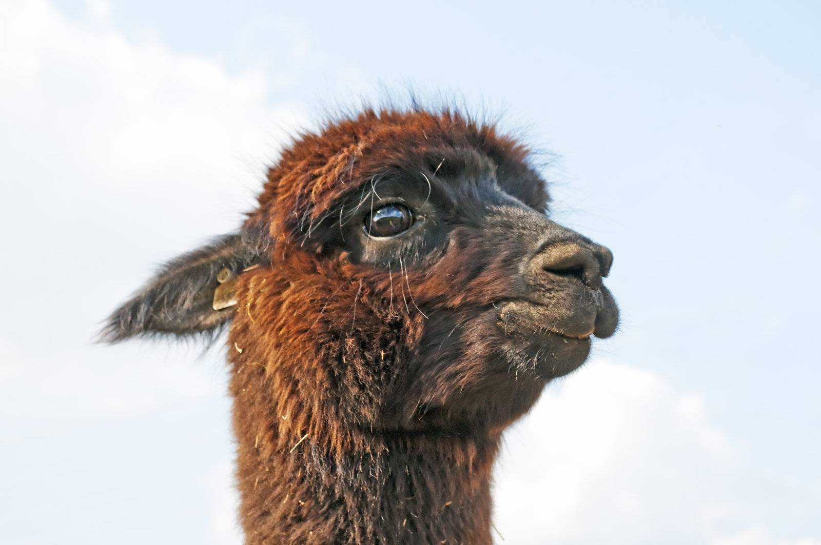 AAT, animal assisted therapy, adorable, alpaca, animal, black - D5356564